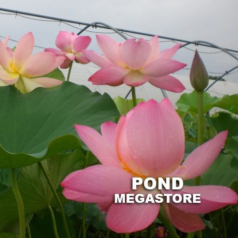Pink-a-licious NEW super pink. Heavy Bloomer - PondLotus.com