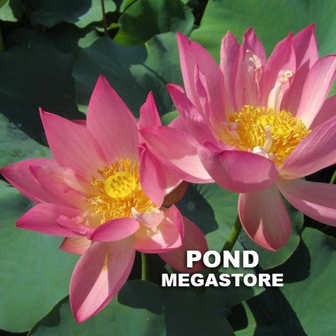 PINK BOWL LOTUS - PondLotus.com