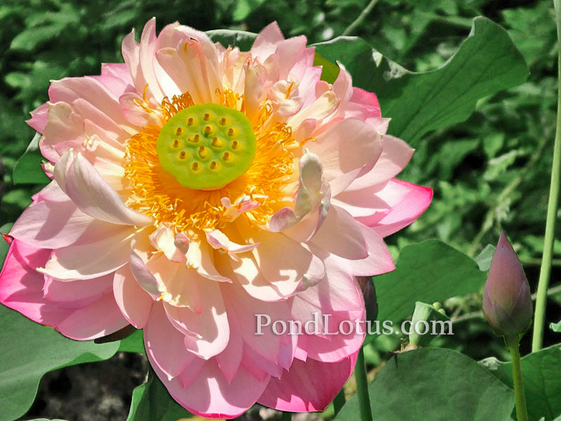 Pink Peach Lotus  <br> Reserve today for Spring 2020 - PondLotus.com