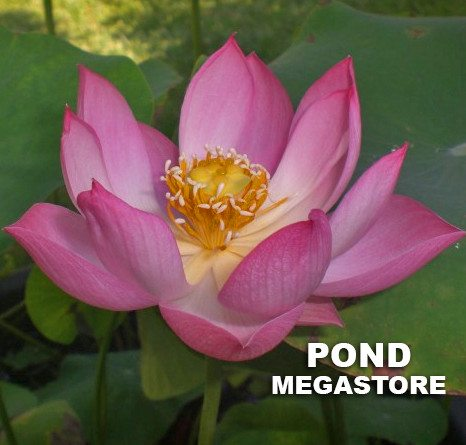 Princess Harper Of Ten Mile Creek Lotus  <br>  Lovely Double Blooms!  <br> Reserve Lotus Varieties ASAP for 2020! - PondLotus.com