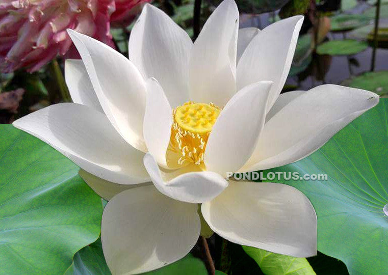 Princess Kennedy Of Ten Mile Creek Lotus  <br>  Classic White Lotus!  <br> Reserve Lotus Varieties ASAP for 2020! - PondLotus.com