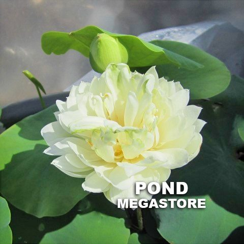 Pure Girl Lotus  <br>  Frilly Yellow Flowers!  <br> Reserve Lotus Varieties ASAP for 2020! - PondLotus.com