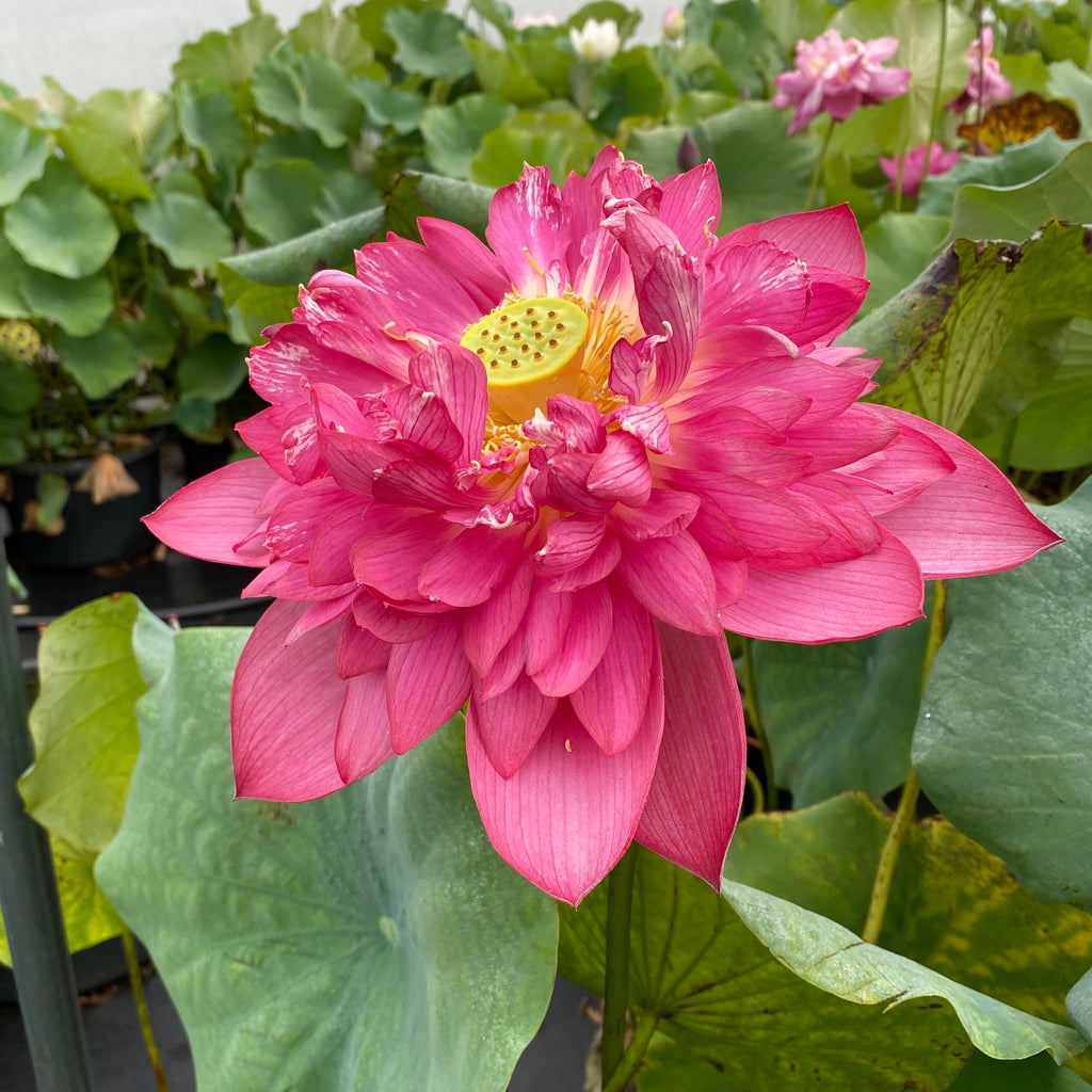 2021 Red Canal Lotus