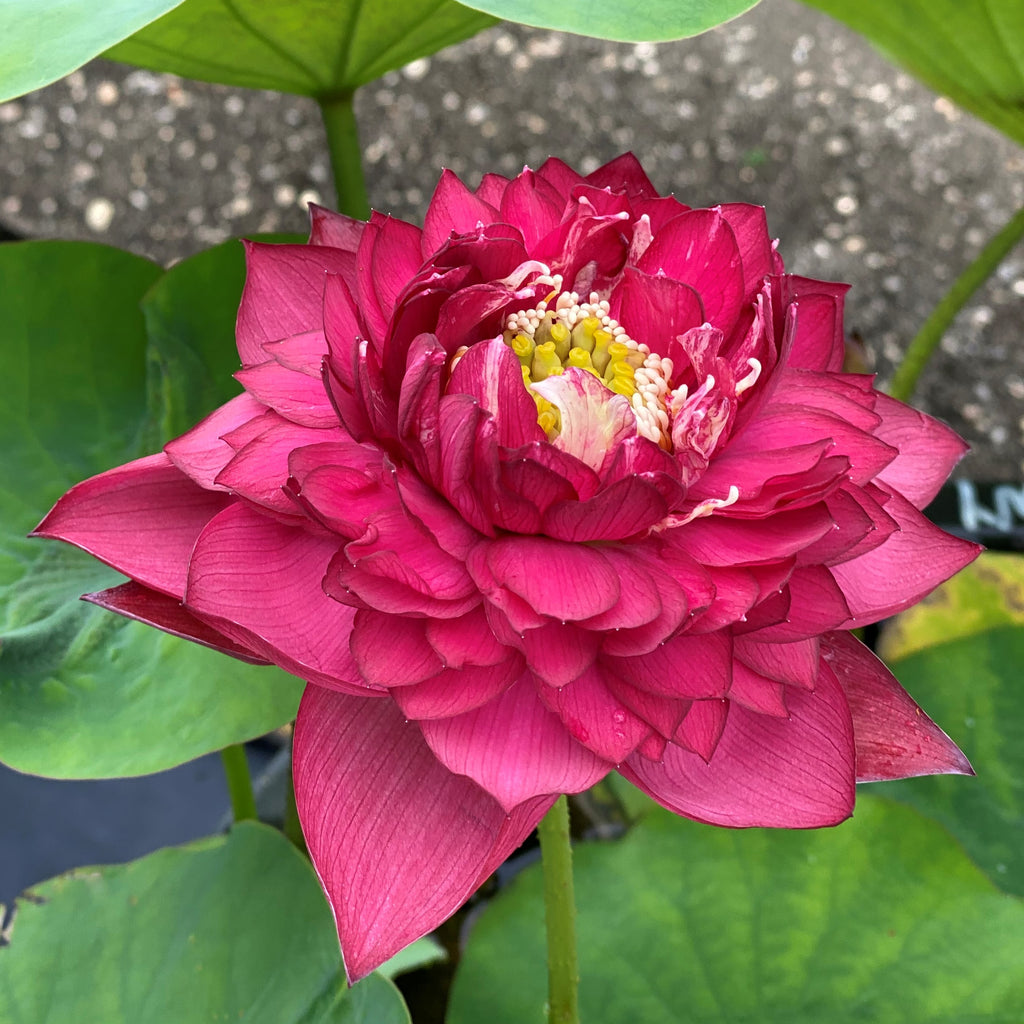 2021 Red Symphony Lotus  <br>  Brilliant Red!  <br>  Reserve Now For Spring 2021!