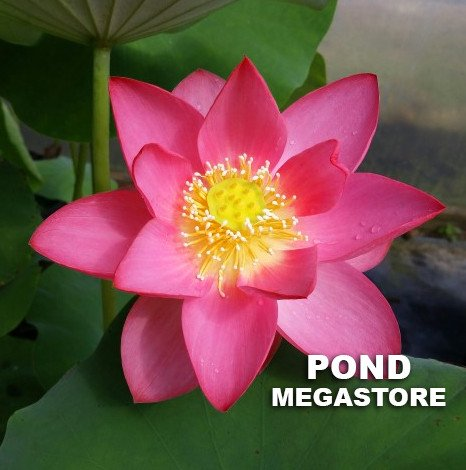 Red at Sunset Lotus  <br>  Intense Red Color!  <br> Reserve Lotus Varieties ASAP for 2020! - PondLotus.com