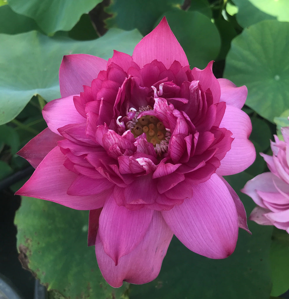 Red Tower Of Qinhuai Lotus <br> Reserve Lotus Varieties ASAP for 2020! - PondLotus.com