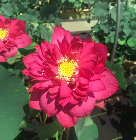 Red Tree Peony Lotus  <br>  Customer Favorite!  <br> Reserve Lotus Varieties ASAP for 2020! - PondLotus.com