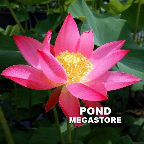 RUSSIAN RED LOTUS / (Caspicum) LOTUS  <br> Sold out for 2020 - PondLotus.com