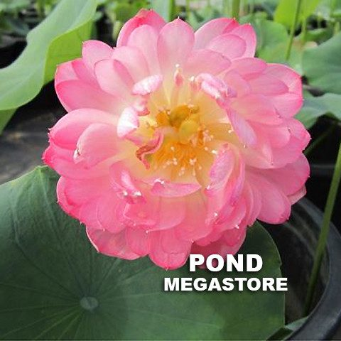 Little Scarlet Peach Lotus  <br>  Ruffled Blooms!  <br> Reserve Lotus Varieties ASAP for 2020! - PondLotus.com