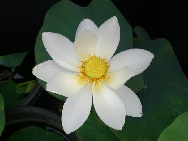 2021 Snow Beauty Lotus   <br>  Dazzling White!  <br>  Reserve Now For 2021!  <br>