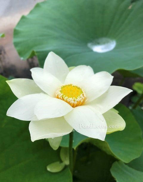 Snow Beauty Lotus