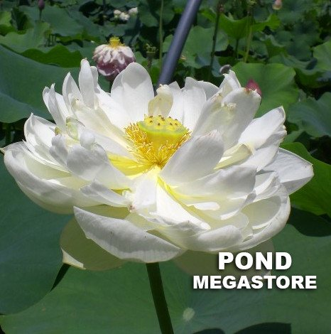 Snow White Lotus  <br>  Pure White Blooms!  <br> Reserve Lotus Varieties ASAP for 2020! - PondLotus.com