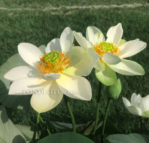 Star Of Green Lotus <br> Easy for Beginners  <br> Reserve Lotus Varieties ASAP for 2020! - PondLotus.com