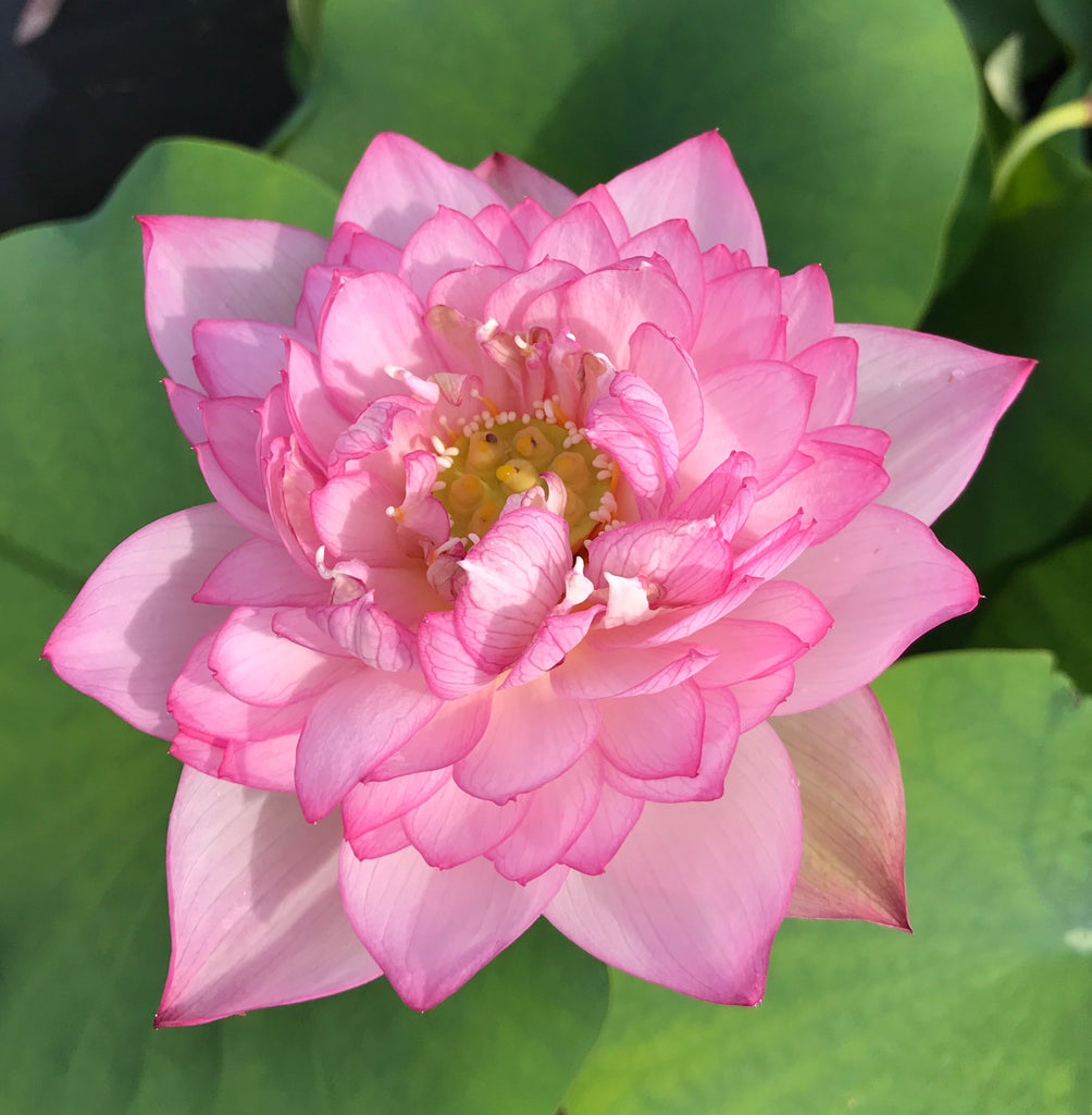 Star Of Yaochi Lotus  <br>  Large, Sumptuous Flowers!   <br> Reserve Lotus Varieties ASAP for 2020! - PondLotus.com