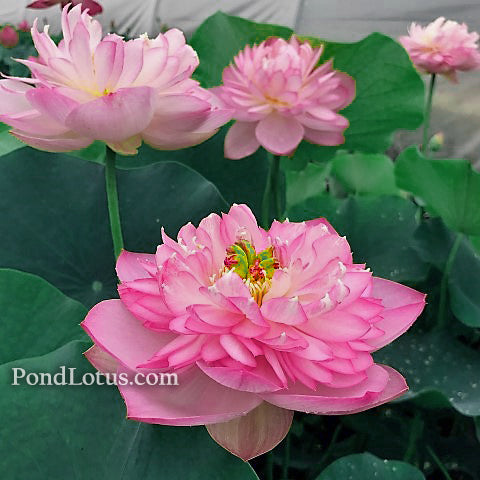Sugar Pie Pink Lotus <br>  Heavy Bloomer  <br> Reserve Lotus Varieties ASAP for 2020! - PondLotus.com