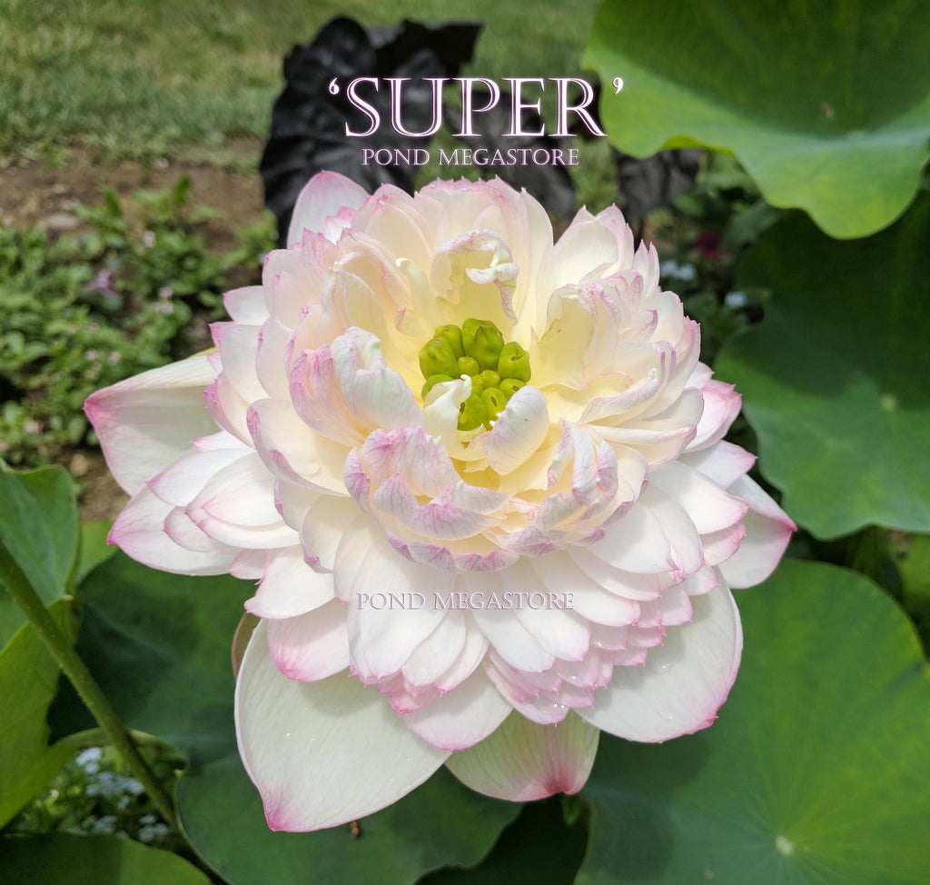Super Lotus, Juwuba!  <br> Customer Favorite!  <br> Reserve Lotus Varieties ASAP for 2020! - PondLotus.com