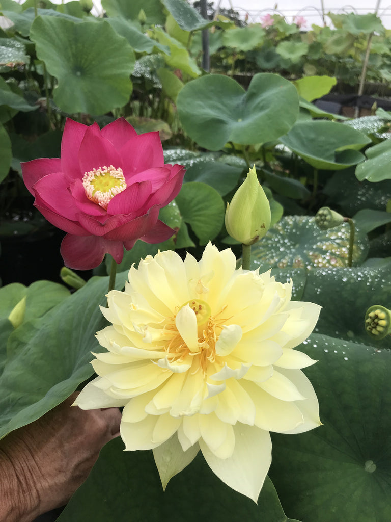 Autumn in Moling Lotus  <br>  Worldwide Favorite Yellow Lotus! <br> Reserve Lotus Varieties ASAP for 2020! - PondLotus.com