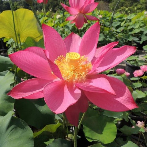 Titan Lotus (Ju Zi)  <br>  Deep, Dark Red!<br>Heavy Bloomer! Best of the Best!  <br> Reserve Lotus Varieties ASAP for 2020! - PondLotus.com