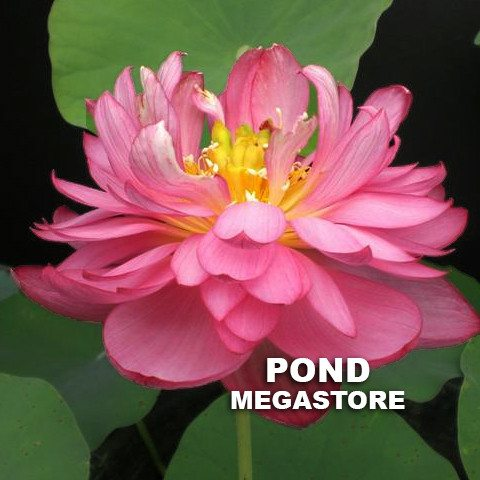 Titanic Lotus <br>Easy for Beginners   <br> Reserve Lotus Varieties ASAP for 2020! - PondLotus.com