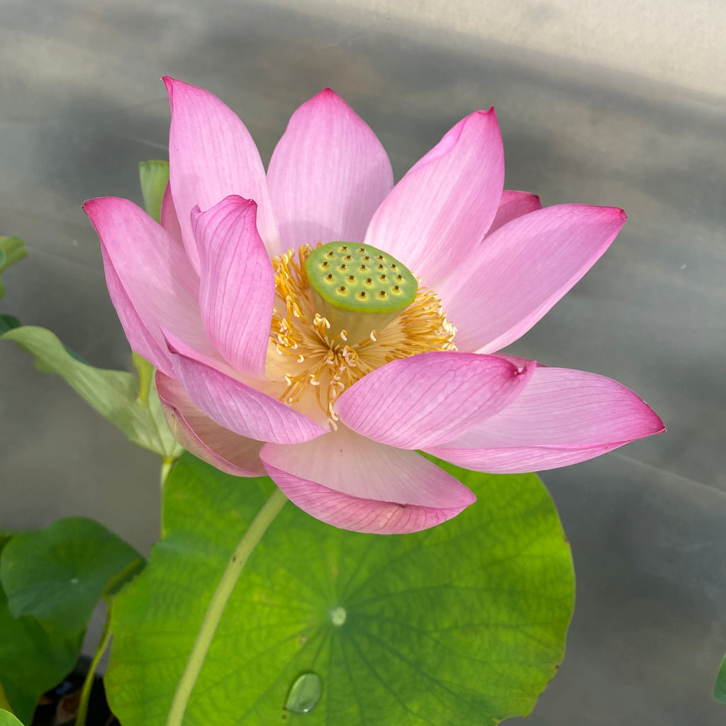 West Lake Red Lotus   <br> Reserve Lotus Varieties ASAP for 2021!