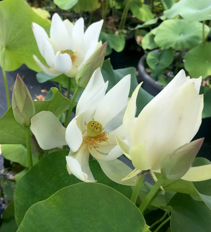White Buddha's Hand  <br> Reserve Lotus Varieties ASAP for 2020! - PondLotus.com