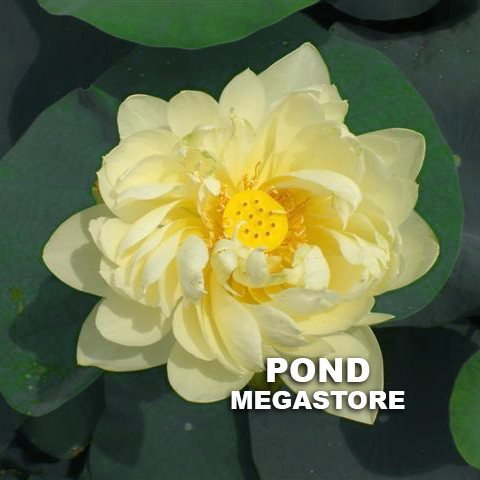 White Chrysanthemum Lotus  <br>  <br>  Nice Seed Pods!   <br> Reserve Lotus Varieties ASAP for 2020! - PondLotus.com