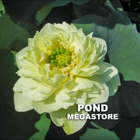 WHITE PEAR FLOWER LOTUS - PondLotus.com