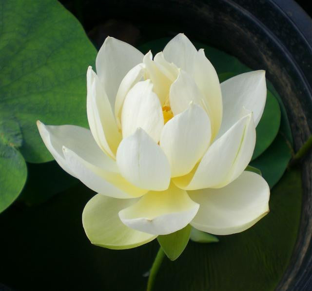 Xiamen Bowl Rice Paper Lotus  <br> Reserve Lotus Varieties ASAP for 2020! - PondLotus.com