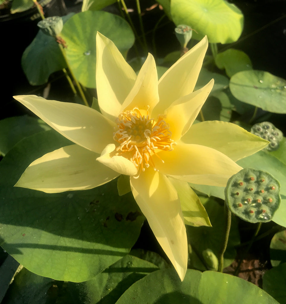 Apricot Yellow Lotus <br>  Sunny Yellow Color!  <br> Reserve Lotus Varieties ASAP for 2020! - PondLotus.com