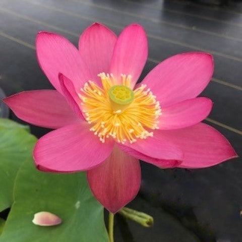 Princess Caroline  <br>  Stunning Blooms! <br> Reserve Lotus Varieties ASAP for 2020! - PondLotus.com