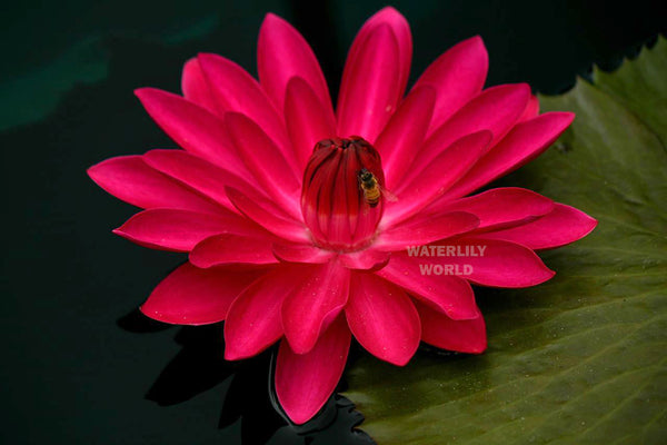 Antares Waterlily