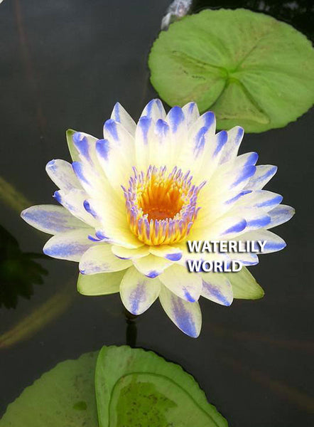 Plyfah Waterlily - EXCLUSIVE!