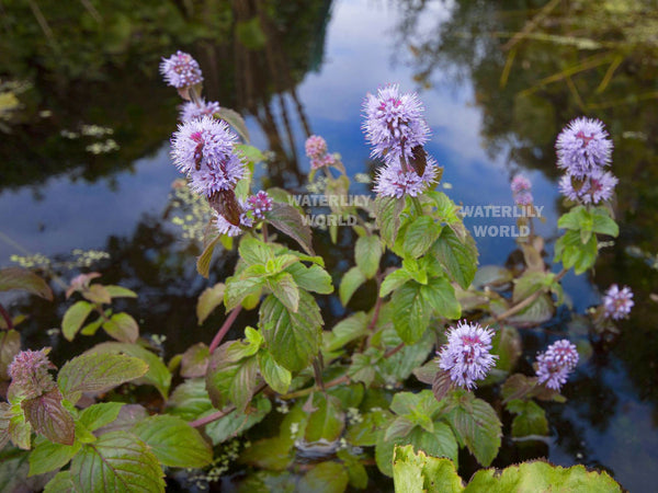 Aquatic Mint  (Mentha Aquatica)