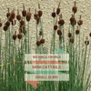 Miniature Cattails, Europa (Typha Minima)
