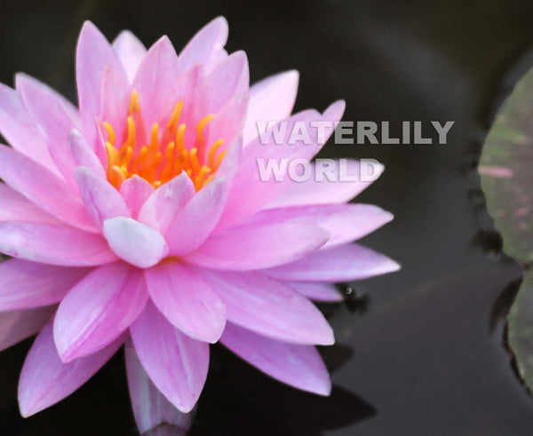 Painted Lady Waterlily   <br>   Medium