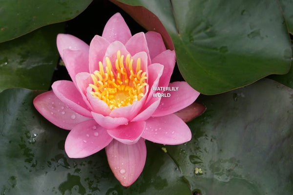 Pink Sensation Waterlily