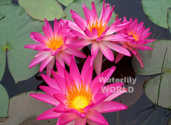 Tropic Star Waterlily / Pink Splash  <br>  Hardy Waterlily  <br>  Bright Color!