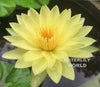 Yellow Dazzler Waterlily