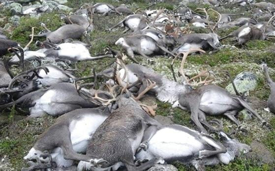 More than 300 wild reindeer have been killed after they were struck by lightning