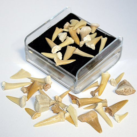 Shark Tooth Fossil Set