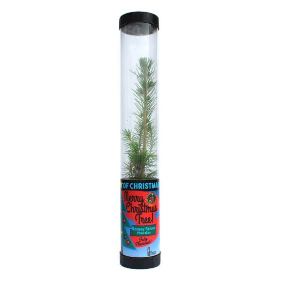 Living Christmas Tree | Norway Spruce | Packaged Live Tree