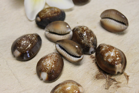 Snakehead or brown cowrie- 10 shells