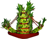 Lucky Bamboo- Boat Shaped