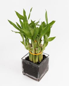 Lucky Bamboo - 2 layered