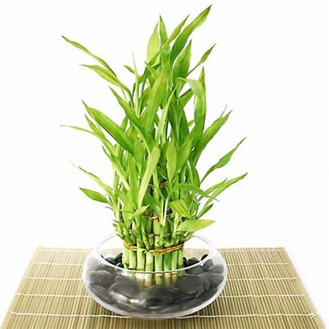 Lucky Bamboo - 3 layered