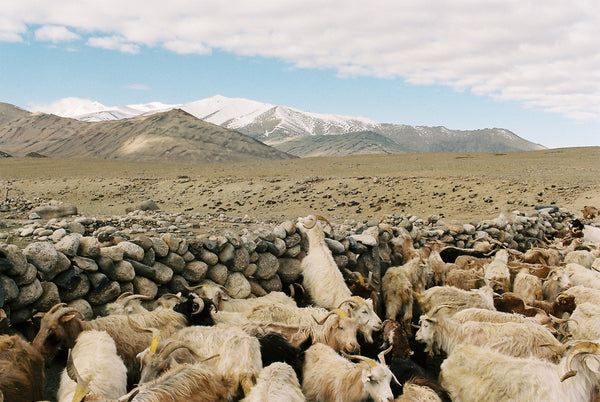 Ladakh and Changthang, goats