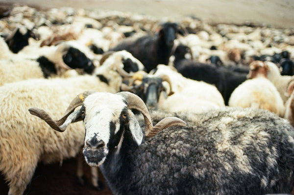 Sheep from Changthang