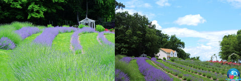 The Magic and Vision Behind Blue Dreams USA Lavender, Roses and Tea Farm Boutique