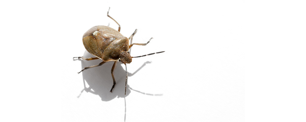 Can Certain Colors Attract Bedbugs?