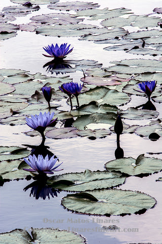 Water Lily Printed Portraits | Linares Fine Art
